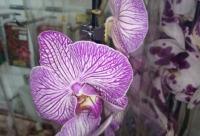 Орхидеи со скидкой 30%. Lacasauhta, г. Ухта.