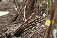 Как сохранить саженцы до весны если опоздали с посадкой осенью - дача, сад, огород, идеи для дома, г. Ростов-на-дону. Мир скидок для наших клиетнов.