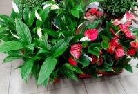 Успевайте купить комнатные растения со скидкой от 20 до 50% - цветы, подарки новое Домодедово. Сегодня действуют скидки.